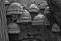 slides/bwfungus01.jpg Cedarburg Bog Mushrooms bwfungus01