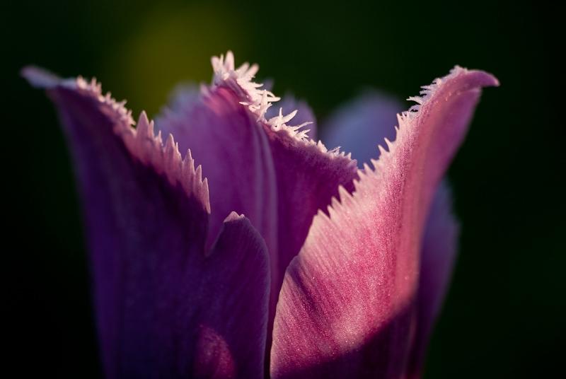 slides/tulip11.jpg  tulip11