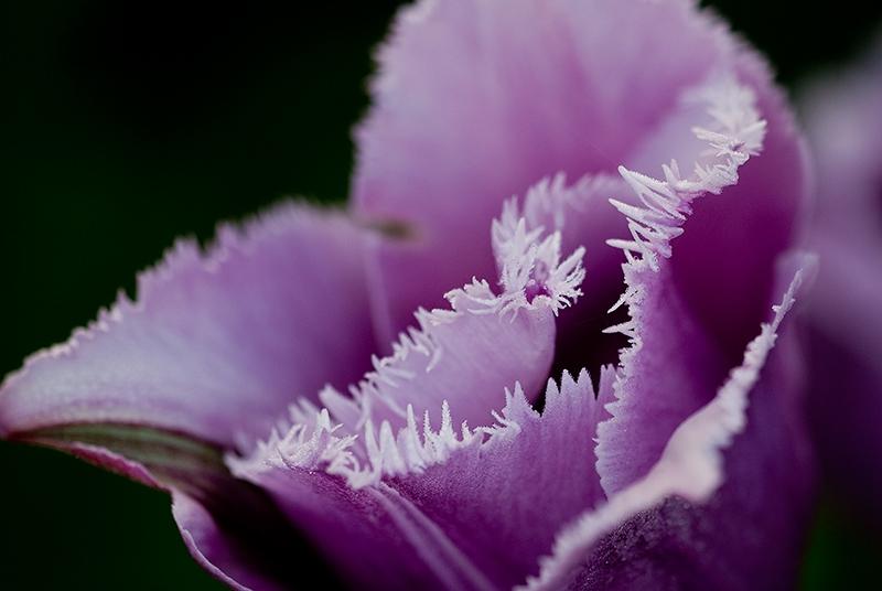 slides/tulip15.jpg  tulip15