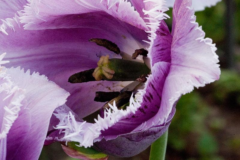 slides/tulip18.jpg  tulip18