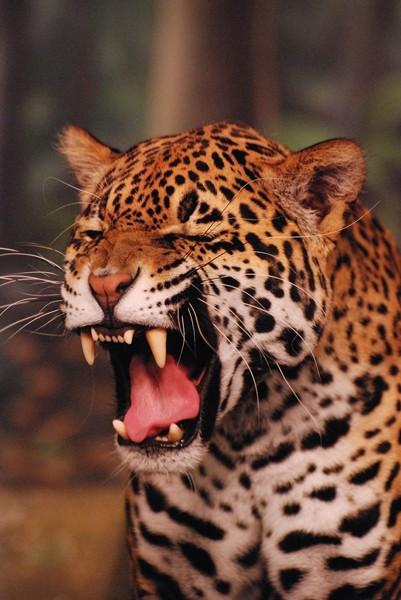 slides/leopard03.jpg  leopard03
