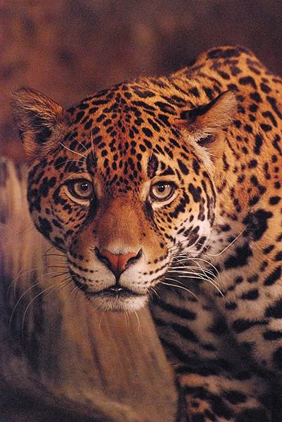 slides/leopard04.jpg  leopard04