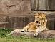 slides/lion.jpg  lion