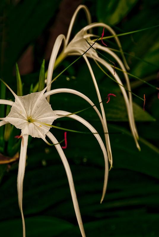slides/spider_lily.jpg  spider_lily