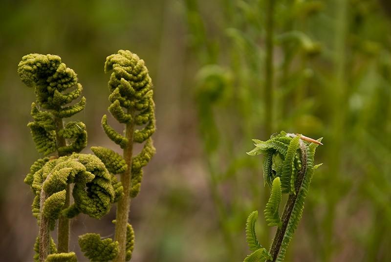 slides/ferns01.jpg Cedarburg Bog Ferns ferns01