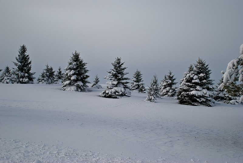 slides/Snowy_Evergreens.jpg Nikon snow winter Snowy_Evergreens