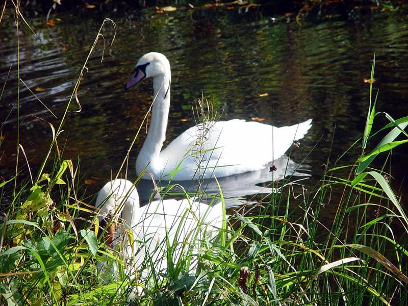 slides/birr-castle-swans.jpg  birr-castle-swans